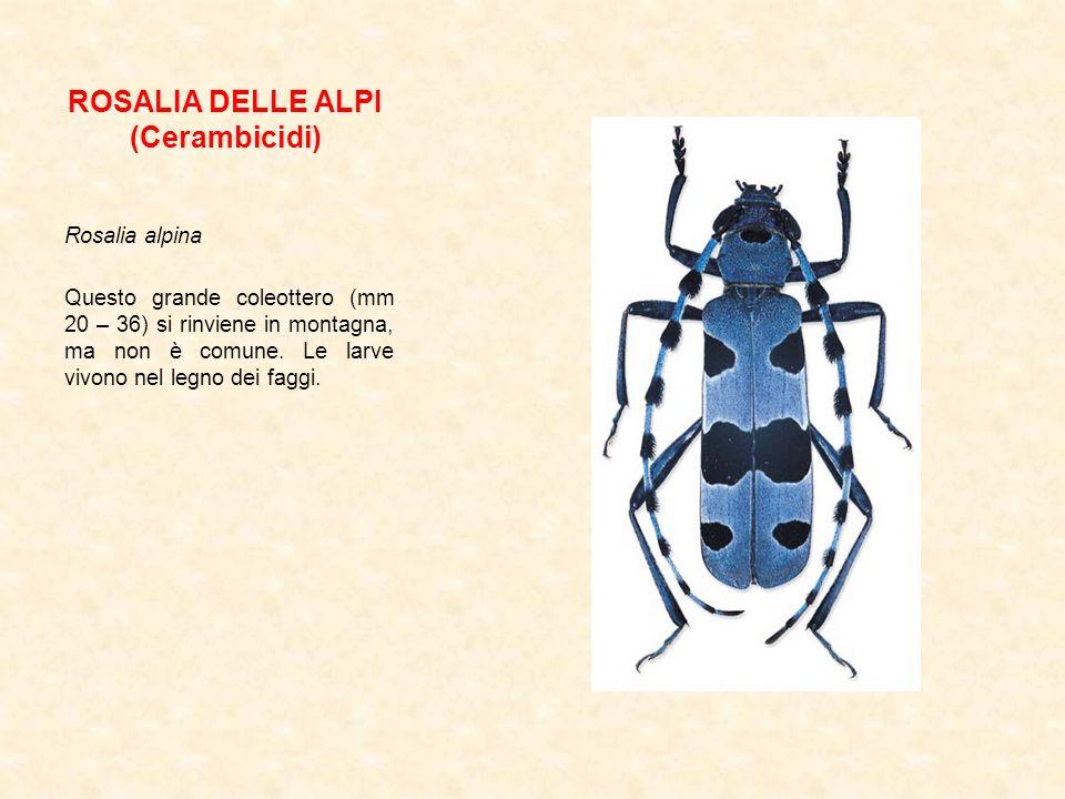 ROSALIA DELLE ALPI (Cerambicidi) Rosalia alpina Questo grande coleottero (mm 20 – 36) si rinviene in montagna, ma non è comune. Le larve vivono nel le