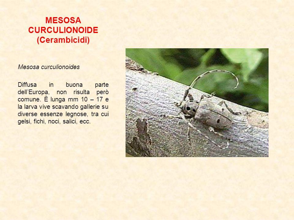 MESOSA CURCULIONOIDE (Cerambicidi) Mesosa curculionoides Diffusa in buona parte dellEuropa, non risulta però comune. È lunga mm 10 – 17 e la larva viv