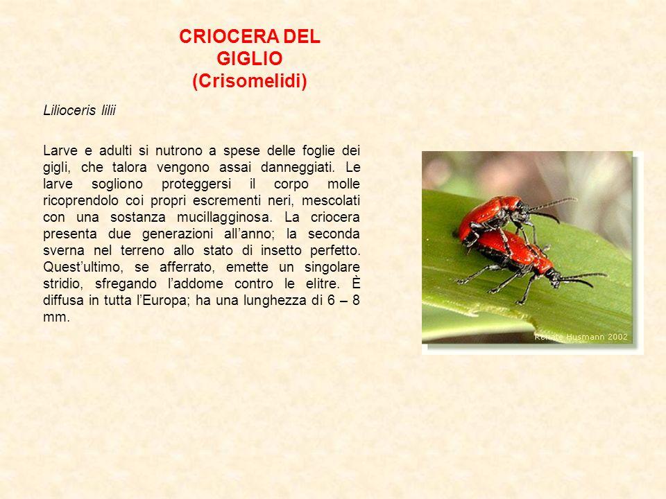 CRIOCERA DEL GIGLIO (Crisomelidi) Lilioceris lilii Larve e adulti si nutrono a spese delle foglie dei gigli, che talora vengono assai danneggiati. Le