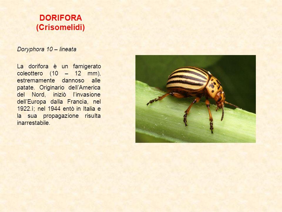 DORIFORA (Crisomelidi) Doryphora 10 – lineata La dorifora è un famigerato coleottero (10 – 12 mm), estremamente dannoso alle patate. Originario dellAm