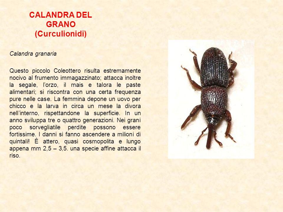CALANDRA DEL GRANO (Curculionidi) Calandra granaria Questo piccolo Coleottero risulta estremamente nocivo al frumento immagazzinato; attacca inoltre l