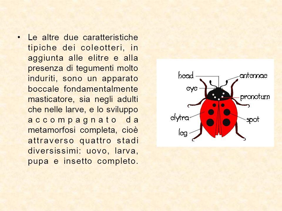 Le altre due caratteristiche tipiche dei coleotteri, in aggiunta alle elitre e alla presenza di tegumenti molto induriti, sono un apparato boccale fon
