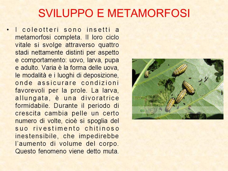 SVILUPPO E METAMORFOSI I coleotteri sono insetti a metamorfosi completa. Il loro ciclo vitale si svolge attraverso quattro stadi nettamente distinti p