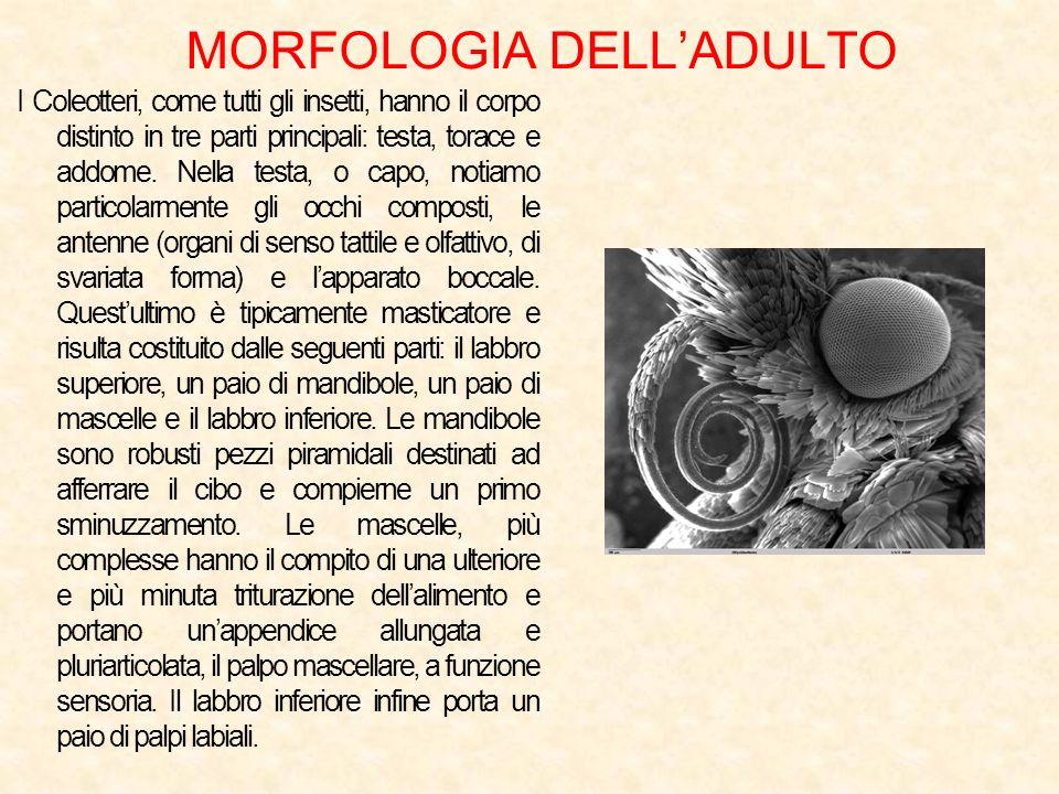 MORFOLOGIA DELLADULTO I Coleotteri, come tutti gli insetti, hanno il corpo distinto in tre parti principali: testa, torace e addome. Nella testa, o ca