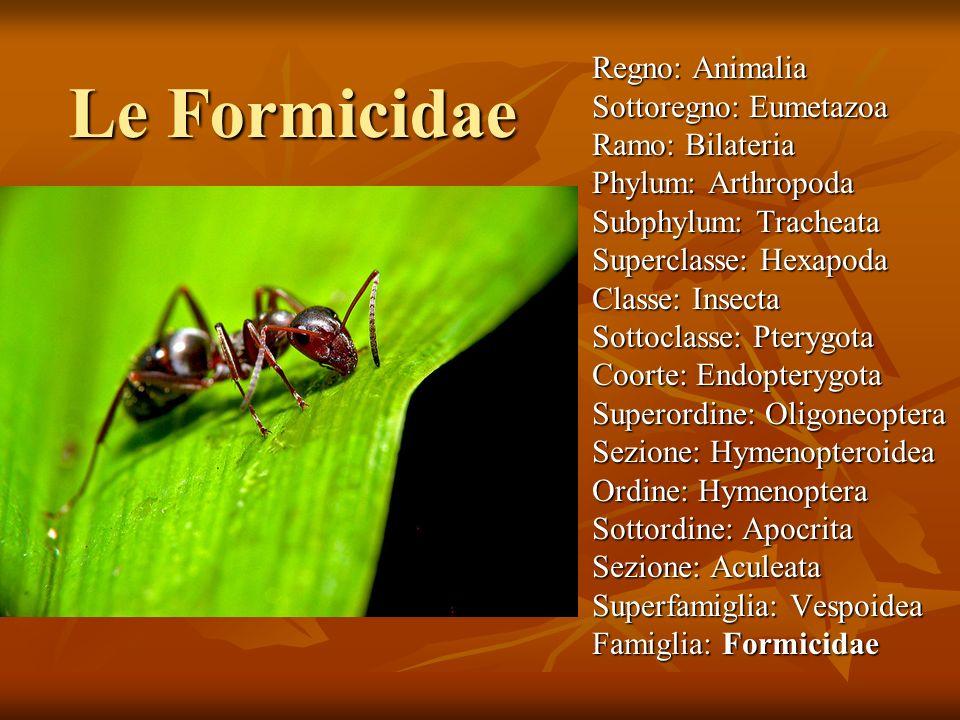 Le Formicidae Regno: Animalia Sottoregno: Eumetazoa Ramo: Bilateria Phylum: Arthropoda Subphylum: Tracheata Superclasse: Hexapoda Classe: Insecta Sott