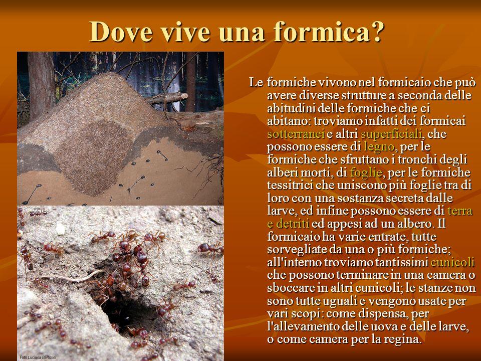 Dove vive una formica? Le formiche vivono nel formicaio che può avere diverse strutture a seconda delle abitudini delle formiche che ci abitano: trovi