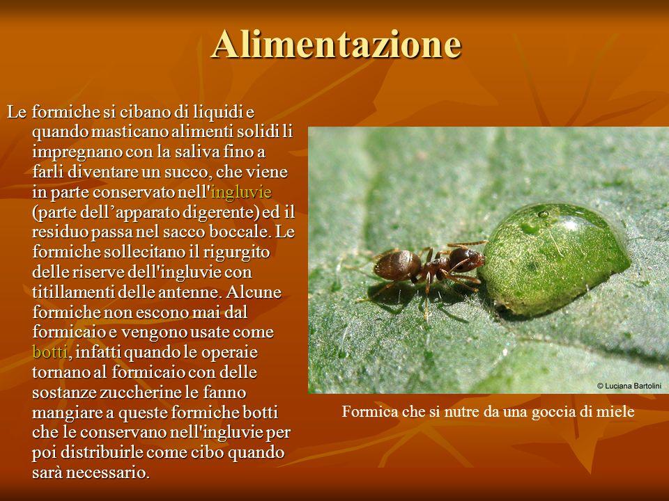 Alimentazione Le formiche si cibano di liquidi e quando masticano alimenti solidi li impregnano con la saliva fino a farli diventare un succo, che vie