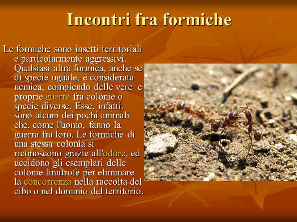 Incontri fra formiche Le formiche sono insetti territoriali e particolarmente aggressivi. Qualsiasi altra formica, anche se di specie uguale, è consid