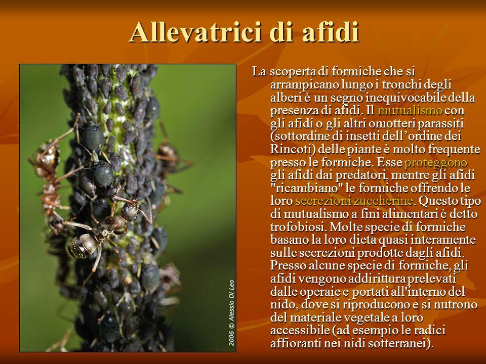 Allevatrici di afidi La scoperta di formiche che si arrampicano lungo i tronchi degli alberi è un segno inequivocabile della presenza di afidi. Il mut