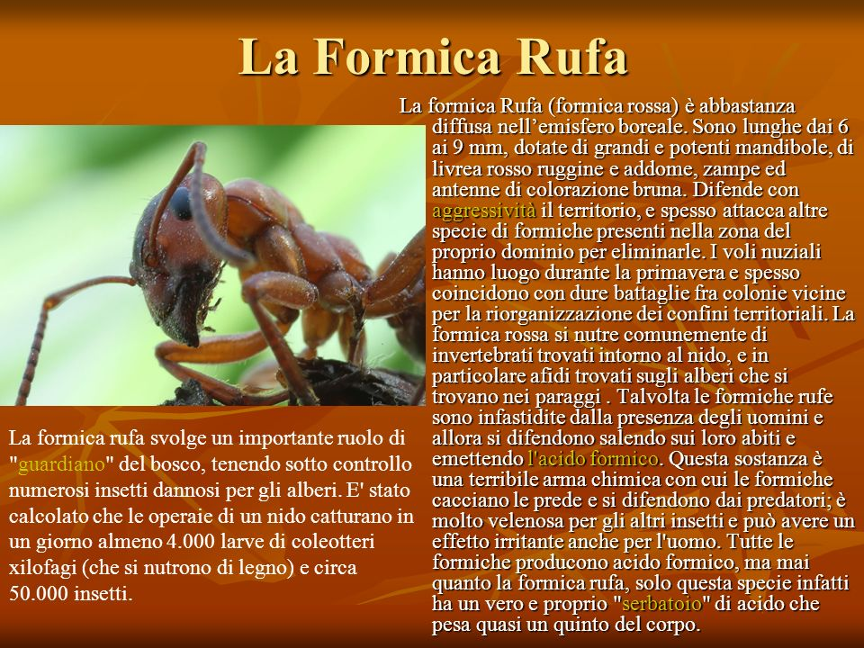 La Formica Rufa La formica Rufa (formica rossa) è abbastanza diffusa nellemisfero boreale. Sono lunghe dai 6 ai 9 mm, dotate di grandi e potenti mandi