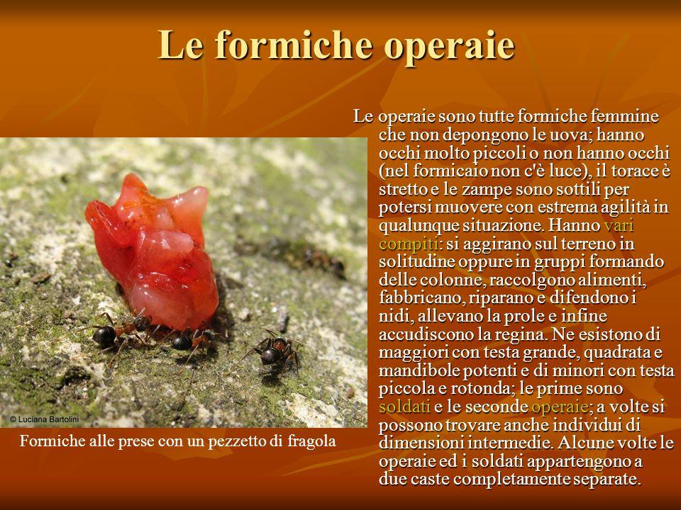 Le formiche operaie Le operaie sono tutte formiche femmine che non depongono le uova; hanno occhi molto piccoli o non hanno occhi (nel formicaio non c
