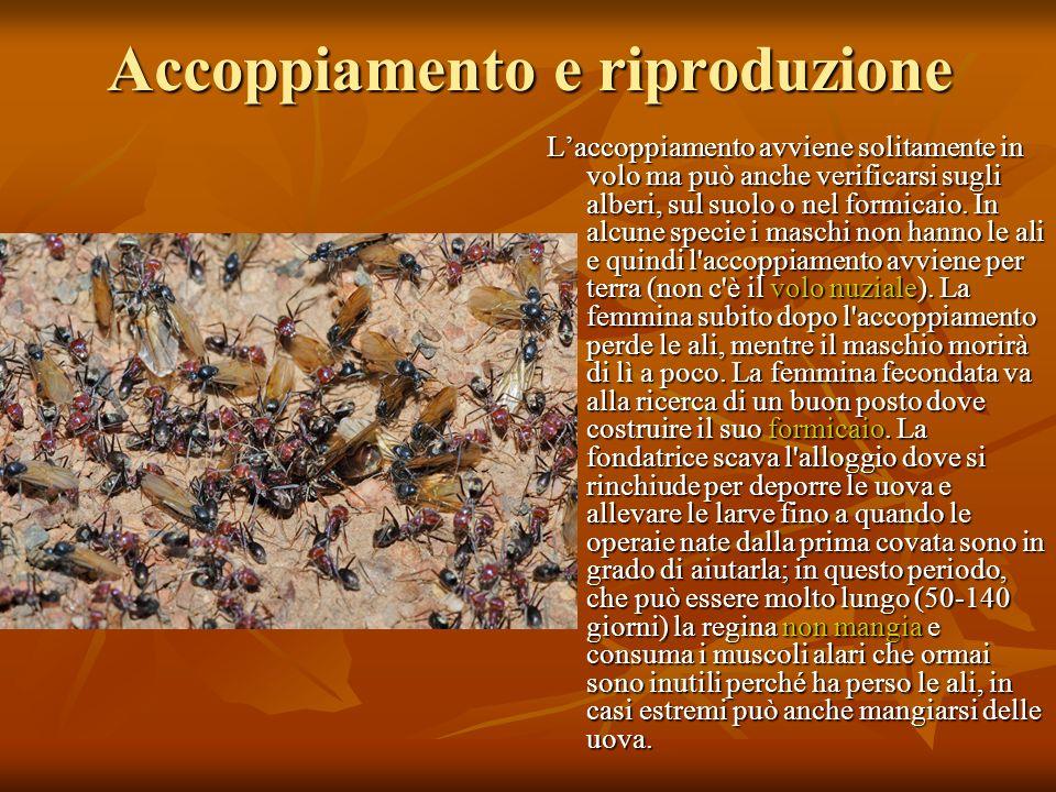 Accoppiamento e riproduzione Laccoppiamento avviene solitamente in volo ma può anche verificarsi sugli alberi, sul suolo o nel formicaio. In alcune sp