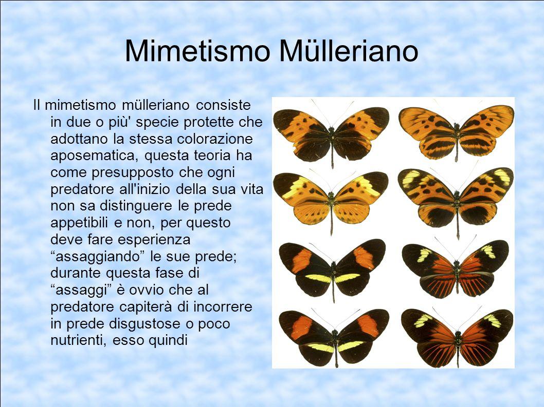 Mimetismo Mülleriano Il mimetismo mülleriano consiste in due o più' specie protette che adottano la stessa colorazione aposematica, questa teoria ha c