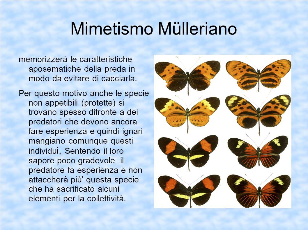 Mimetismo Mülleriano memorizzerà le caratteristiche aposematiche della preda in modo da evitare di cacciarla. Per questo motivo anche le specie non ap