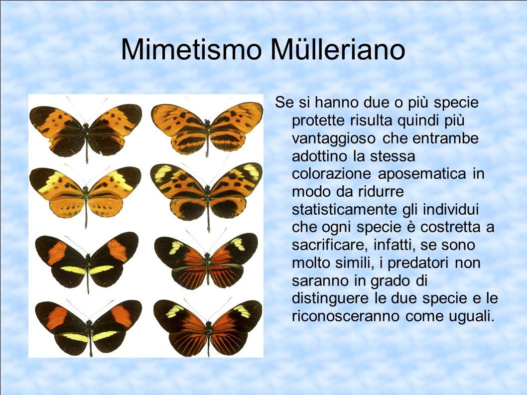 Mimetismo Mülleriano Se si hanno due o più specie protette risulta quindi più vantaggioso che entrambe adottino la stessa colorazione aposematica in m