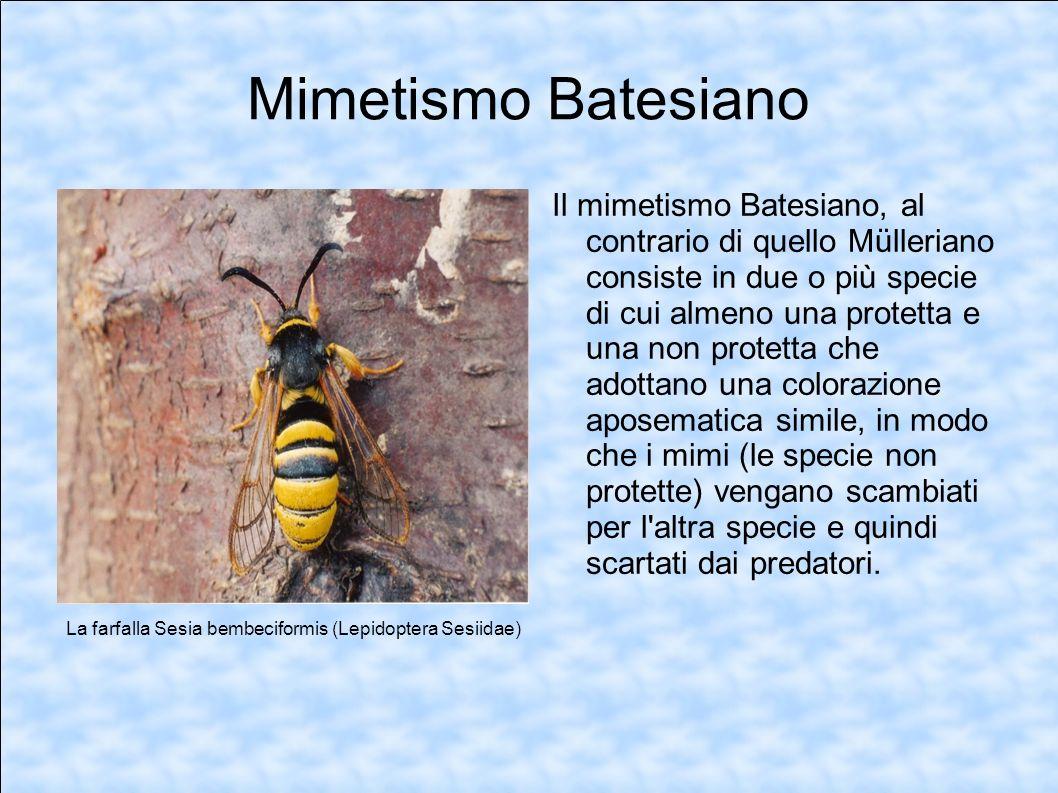 Mimetismo Batesiano Il mimetismo Batesiano, al contrario di quello Mülleriano consiste in due o più specie di cui almeno una protetta e una non protet