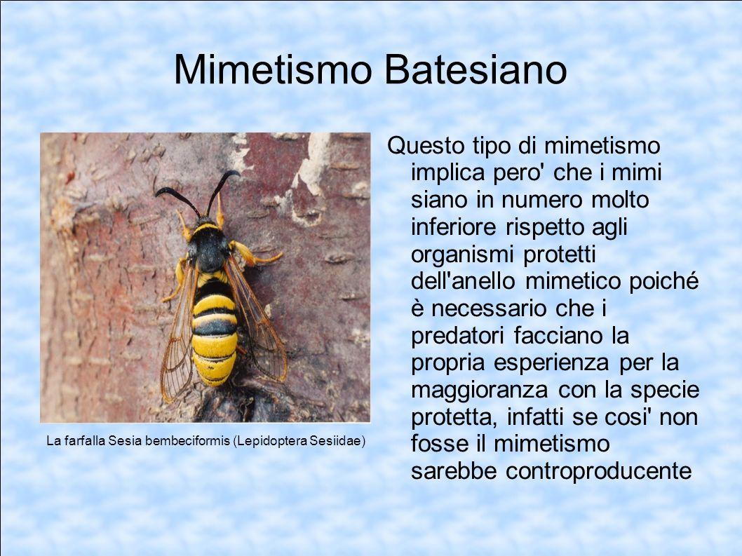 Mimetismo Batesiano Questo tipo di mimetismo implica pero' che i mimi siano in numero molto inferiore rispetto agli organismi protetti dell'anello mim