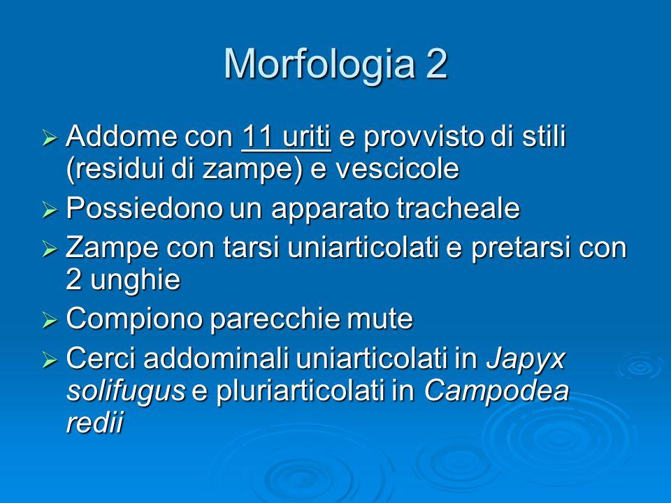 Morfologia 2 Addome con 11 uriti e provvisto di stili (residui di zampe) e vescicole Addome con 11 uriti e provvisto di stili (residui di zampe) e ves