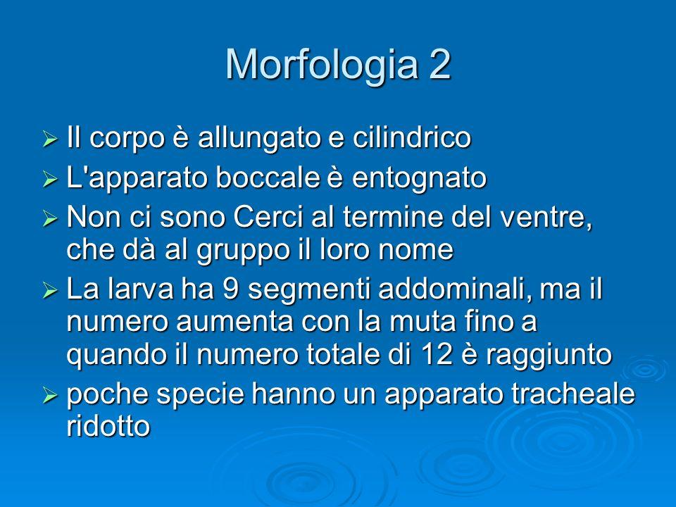 Morfologia 2 Il corpo è allungato e cilindrico Il corpo è allungato e cilindrico L'apparato boccale è entognato L'apparato boccale è entognato Non ci