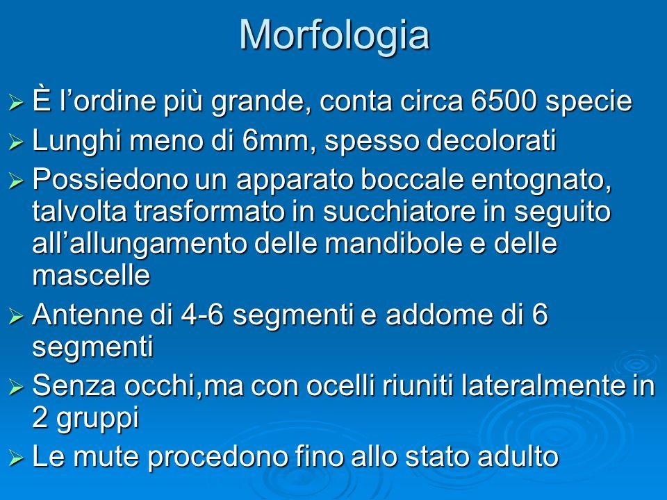 Morfologia È lordine più grande, conta circa 6500 specie È lordine più grande, conta circa 6500 specie Lunghi meno di 6mm, spesso decolorati Lunghi me
