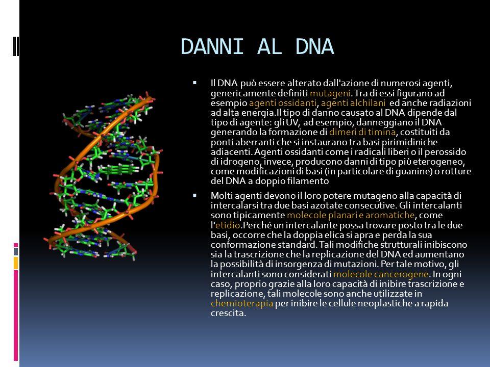 DANNI AL DNA Il DNA può essere alterato dall'azione di numerosi agenti, genericamente definiti mutageni. Tra di essi figurano ad esempio agenti ossida