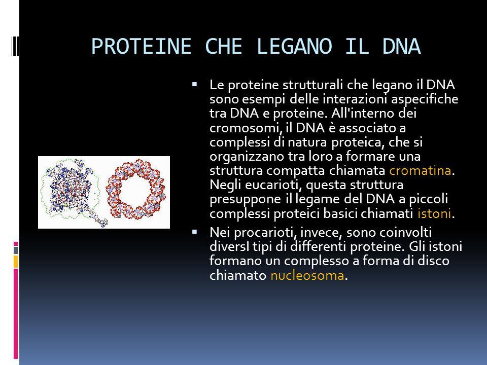 PROTEINE CHE LEGANO IL DNA Le proteine strutturali che legano il DNA sono esempi delle interazioni aspecifiche tra DNA e proteine. All'interno dei cro