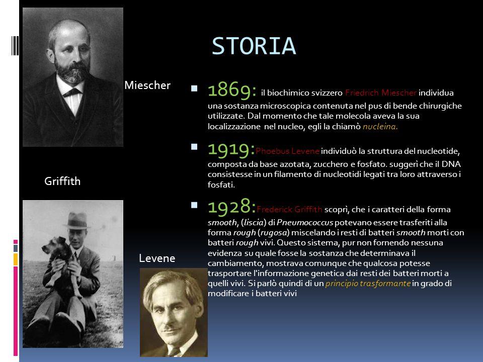 STORIA Miescher Griffith Levene 1869: il biochimico svizzero Friedrich Miescher individua una sostanza microscopica contenuta nel pus di bende chirurg