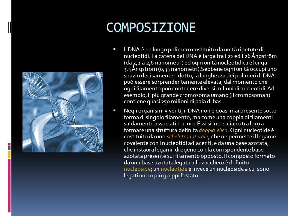 COMPOSIZIONE Il DNA è un lungo polimero costituito da unità ripetute di nucleotidi. La catena del DNA è larga tra i 22 ed i 26 Ångström (da 2,2 a 2,6