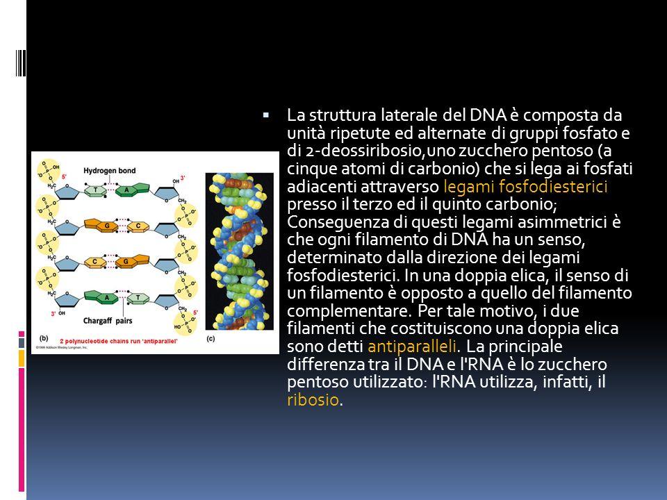 La struttura laterale del DNA è composta da unità ripetute ed alternate di gruppi fosfato e di 2-deossiribosio,uno zucchero pentoso (a cinque atomi di