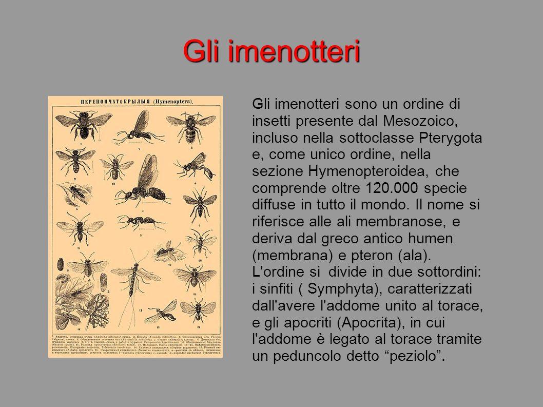 Gli imenotteri sono un ordine di insetti presente dal Mesozoico, incluso nella sottoclasse Pterygota e, come unico ordine, nella sezione Hymenopteroid