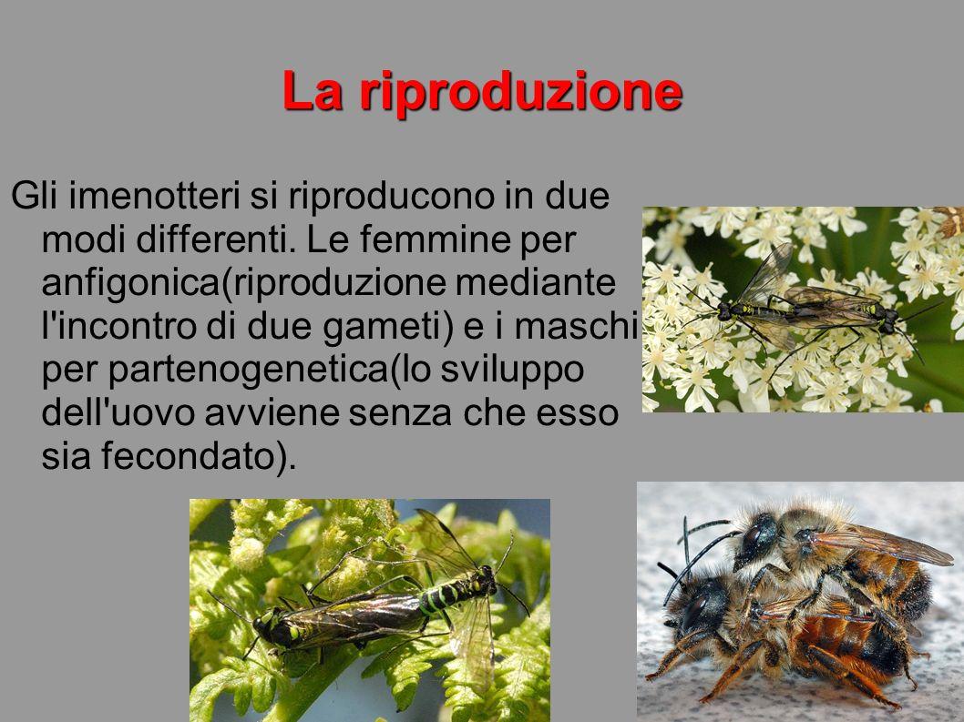 La riproduzione Gli imenotteri si riproducono in due modi differenti. Le femmine per anfigonica(riproduzione mediante l'incontro di due gameti) e i ma
