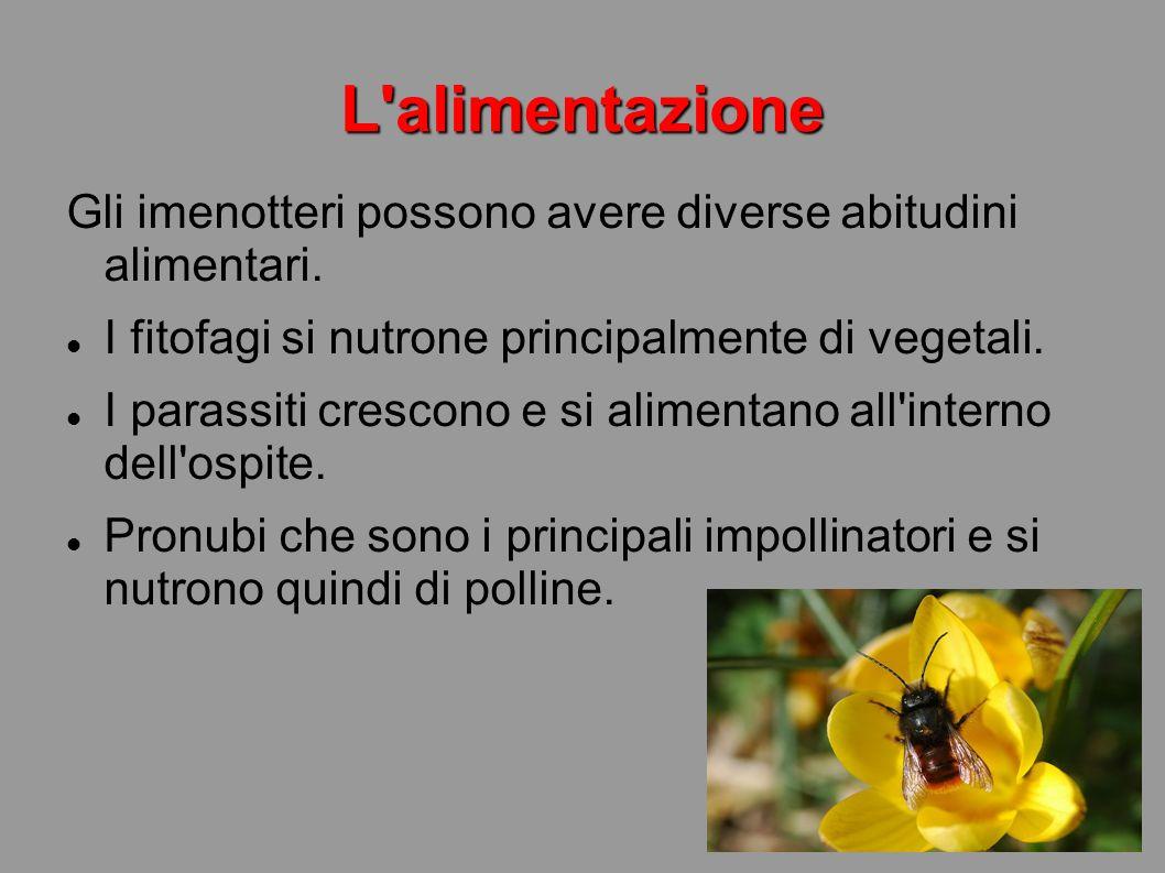 L'alimentazione Gli imenotteri possono avere diverse abitudini alimentari. I fitofagi si nutrone principalmente di vegetali. I parassiti crescono e si