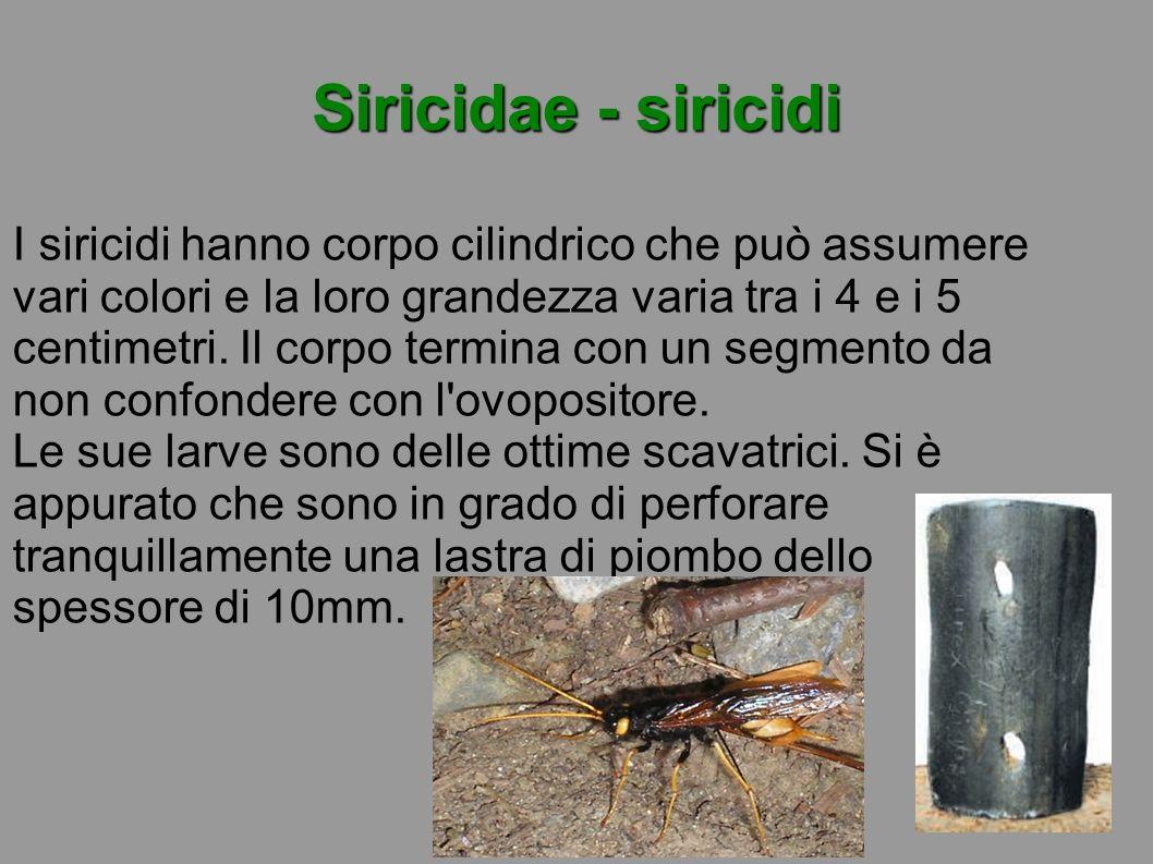Siricidae - siricidi I siricidi hanno corpo cilindrico che può assumere vari colori e la loro grandezza varia tra i 4 e i 5 centimetri. Il corpo termi