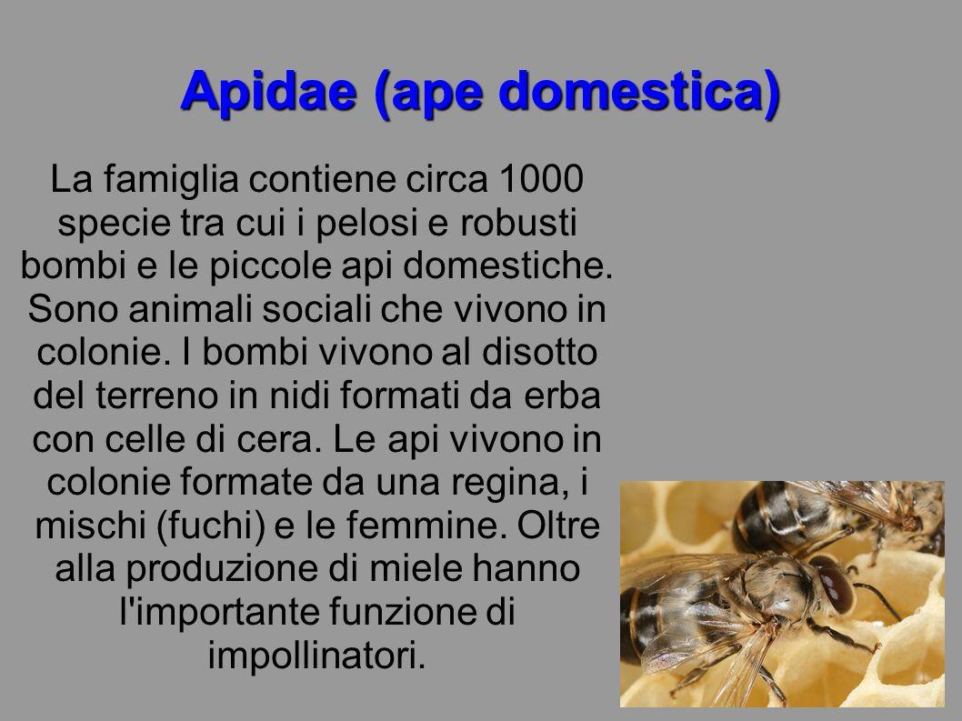 Apidae (ape domestica) La famiglia contiene circa 1000 specie tra cui i pelosi e robusti bombi e le piccole api domestiche. Sono animali sociali che v