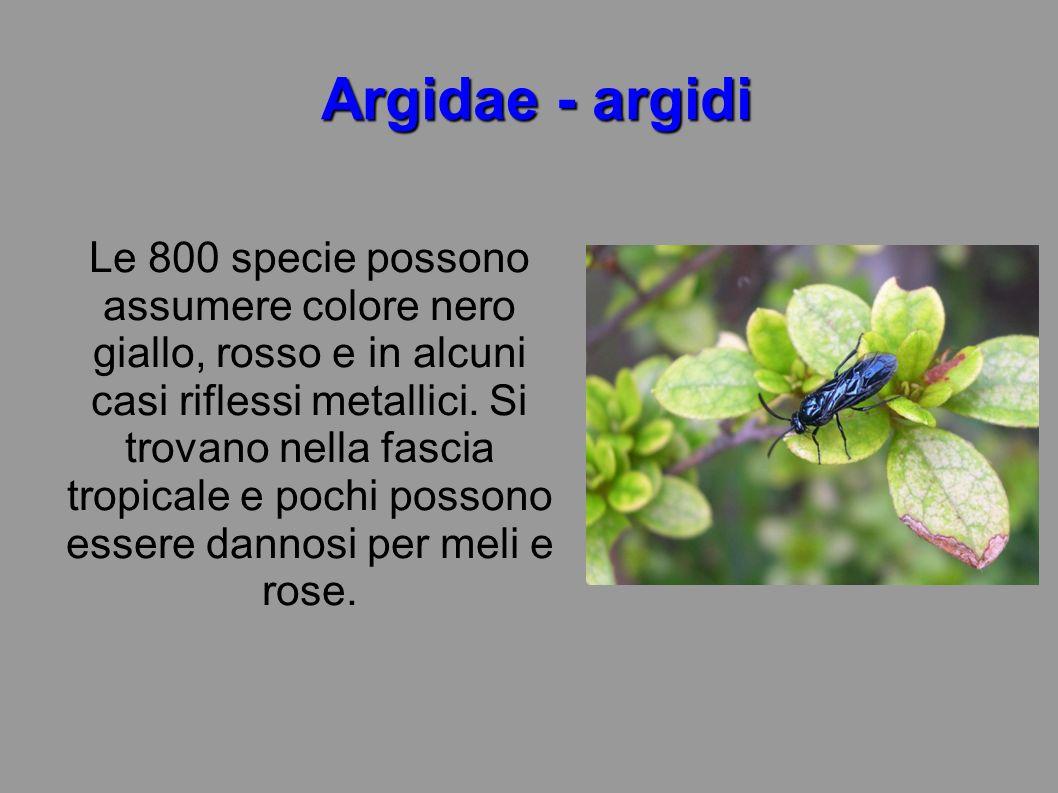 Argidae - argidi Le 800 specie possono assumere colore nero giallo, rosso e in alcuni casi riflessi metallici. Si trovano nella fascia tropicale e poc