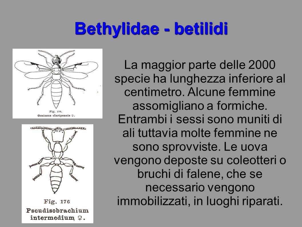 Bethylidae - betilidi La maggior parte delle 2000 specie ha lunghezza inferiore al centimetro. Alcune femmine assomigliano a formiche. Entrambi i sess