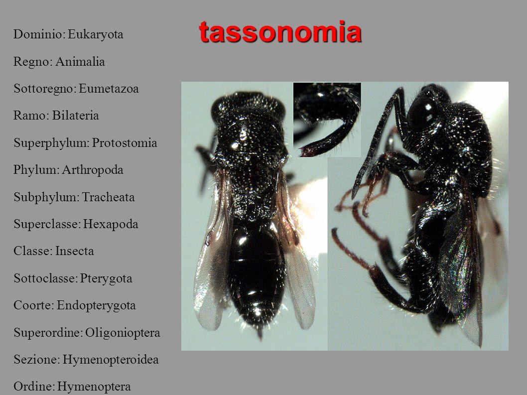La famiglia cephoidea Quella cephoidea è una famiglia contenente circa 100 diverse specie.