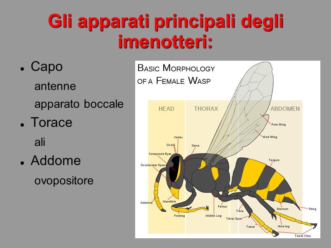 Gli apparati principali degli imenotteri: Capo antenne apparato boccale Torace ali Addome ovopositore