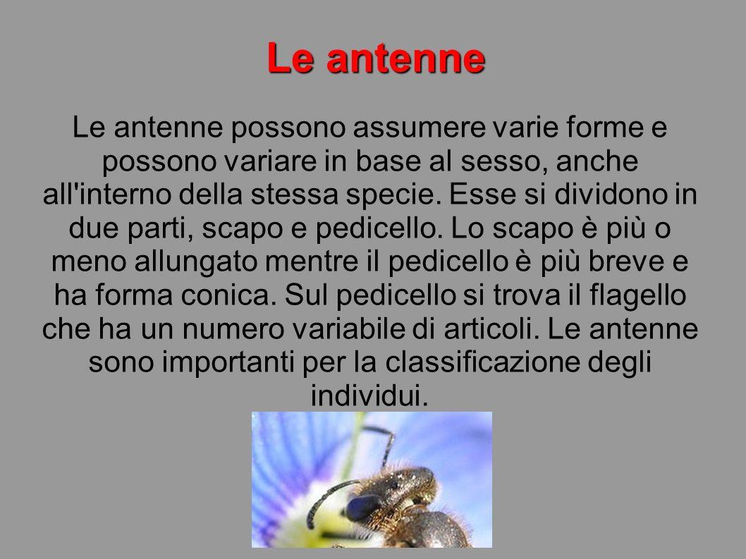 Le antenne Le antenne possono assumere varie forme e possono variare in base al sesso, anche all'interno della stessa specie. Esse si dividono in due