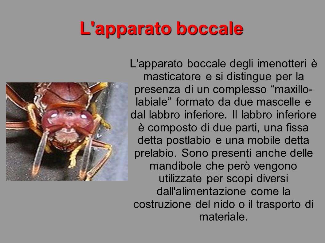 L'apparato boccale L'apparato boccale degli imenotteri è masticatore e si distingue per la presenza di un complesso maxillo- labiale formato da due ma