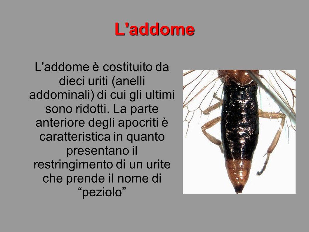 Lo stadio giovanile Le larve si differenziano in due tipi: Dotate di vita autonoma.