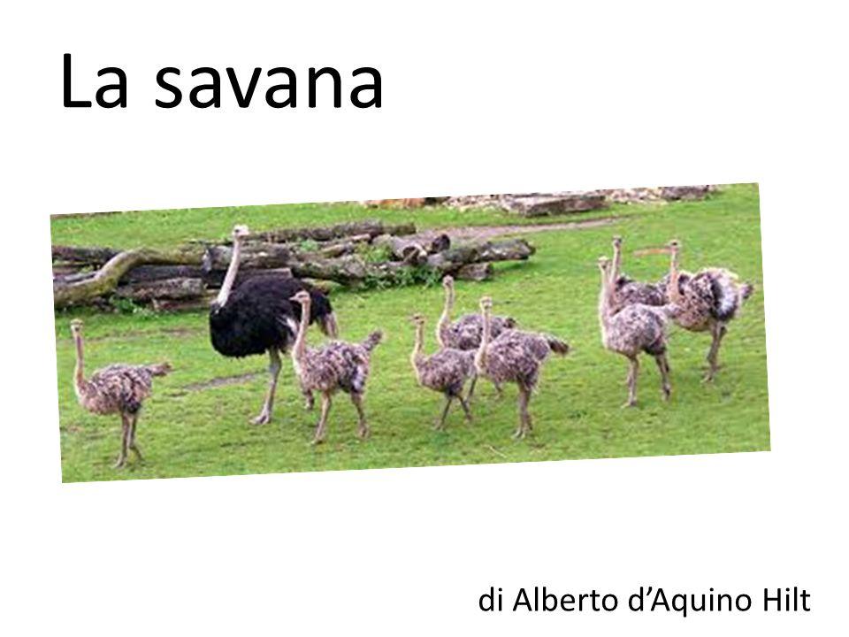 La savana di Alberto dAquino Hilt