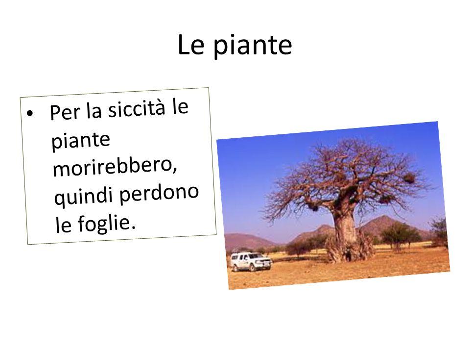 Le piante Per la siccità le piante morirebbero, quindi perdono le foglie.