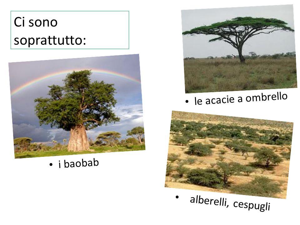 Ci sono soprattutto: le acacie a ombrello i baobab alberelli, cespugli