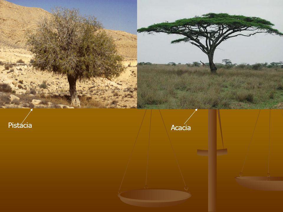 Pistacia Acacia