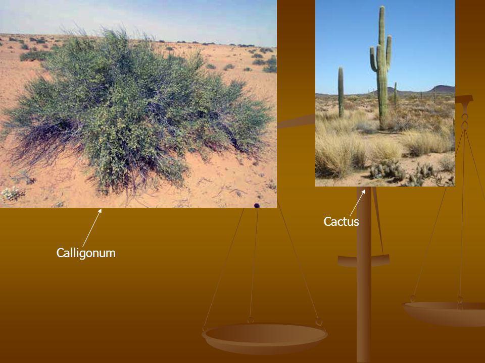Calligonum Cactus