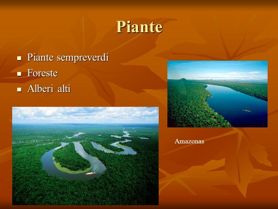 Piante Piante sempreverdi Piante sempreverdi Foreste Foreste Alberi alti Alberi alti Amazonas