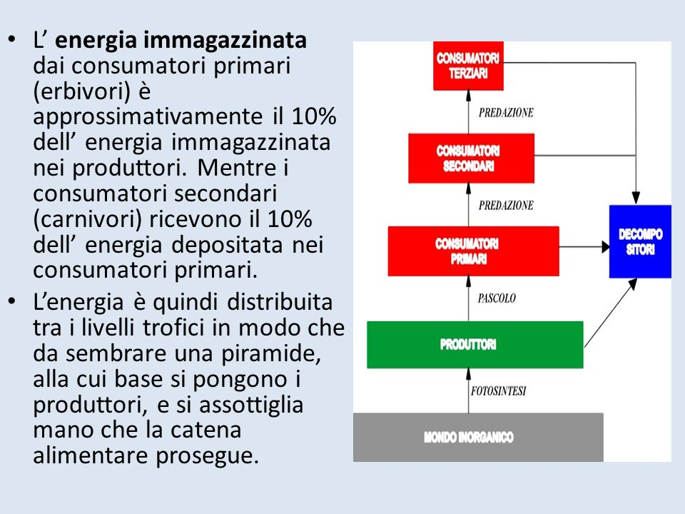 L energia immagazzinata dai consumatori primari (erbivori) è approssimativamente il 10% dell energia immagazzinata nei produttori. Mentre i consumator