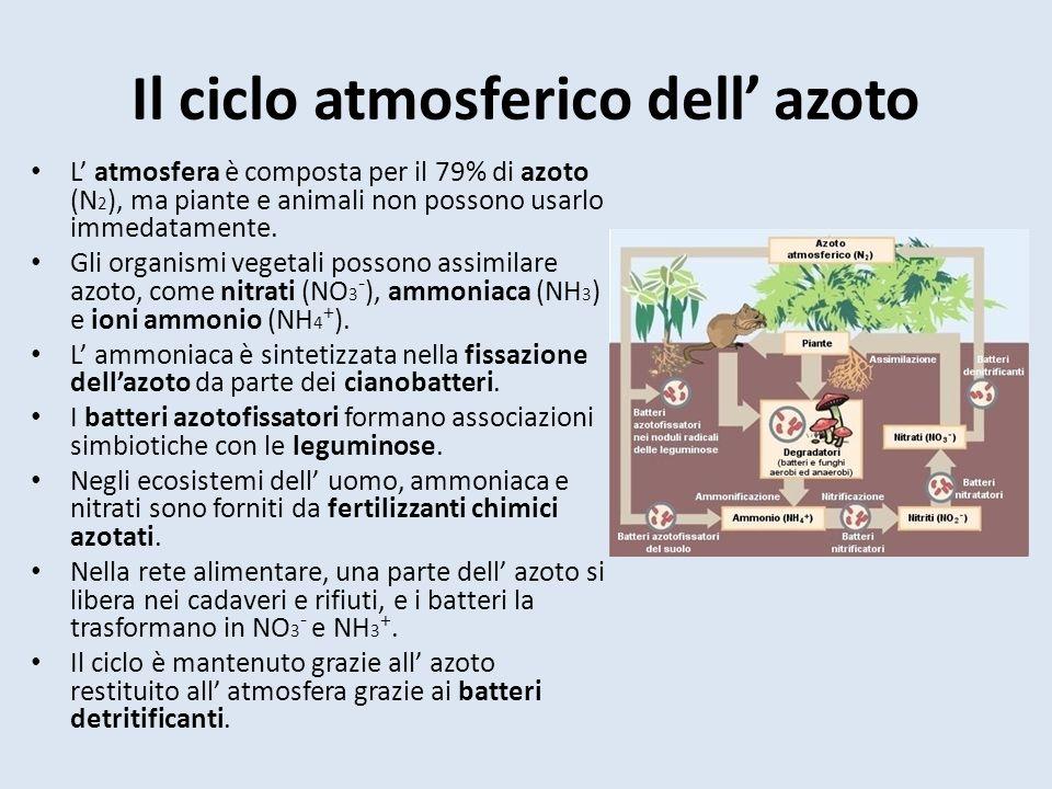Il ciclo atmosferico dell azoto L atmosfera è composta per il 79% di azoto (N 2 ), ma piante e animali non possono usarlo immedatamente.