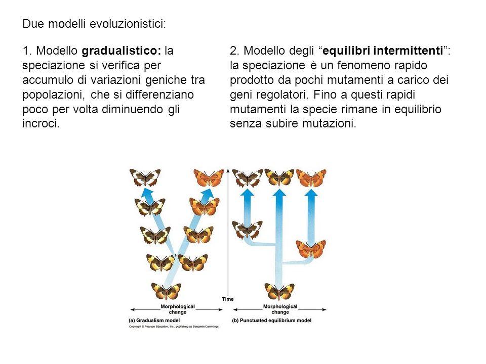 Due modelli evoluzionistici: 2. Modello degli equilibri intermittenti: la speciazione è un fenomeno rapido prodotto da pochi mutamenti a carico dei ge